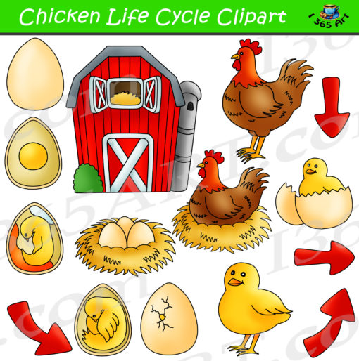 Chicken Life Cycle Clipart