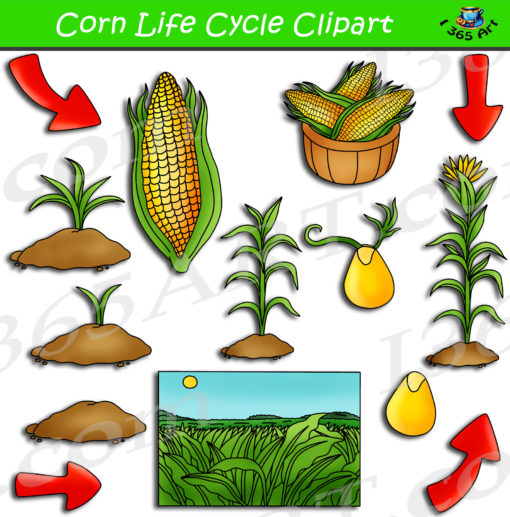 corn life cycle clipart