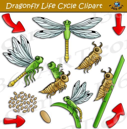 dragonfly life cycle clipart