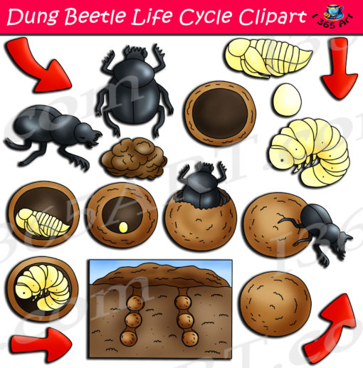 dung beetle life cycle clipart