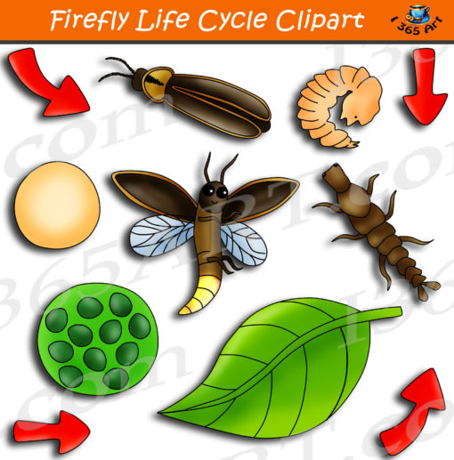 firefly life cycle clipart