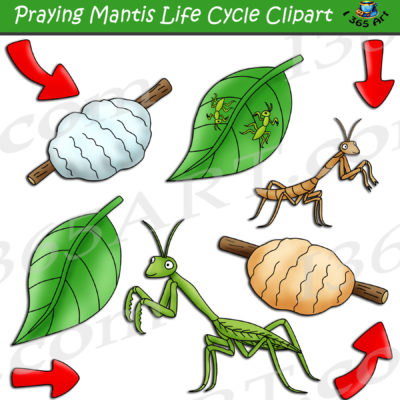 praying mantis life cycle clipart