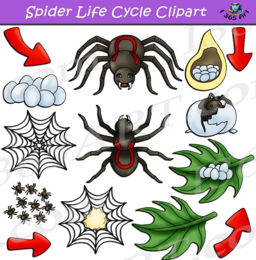 spider life cycle clipart