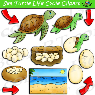 sea turtle life cycle clipart