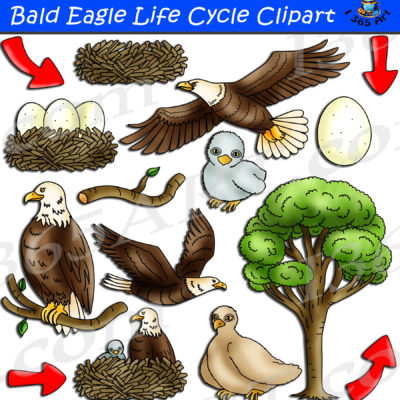 bald eagle life cycle clipart