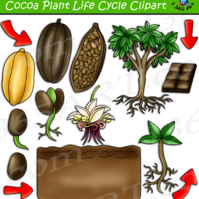 Cocoa plant life cycle clipart