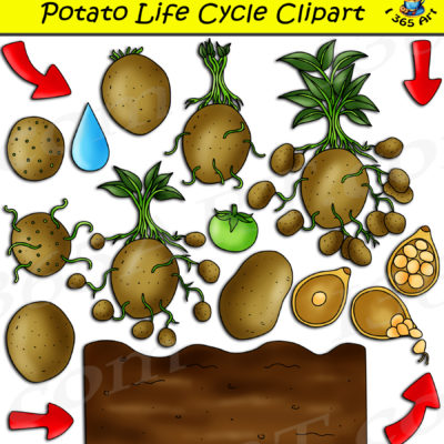 Potato life cycle clipart