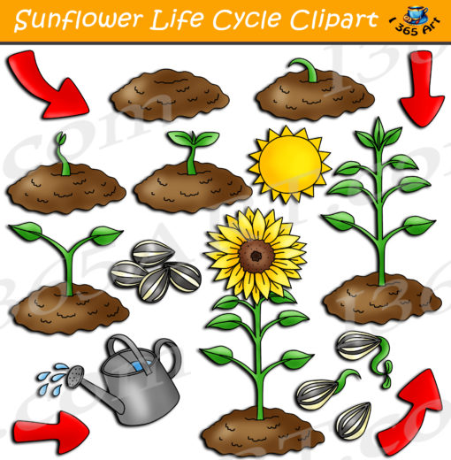Sunflower life cycle clipart