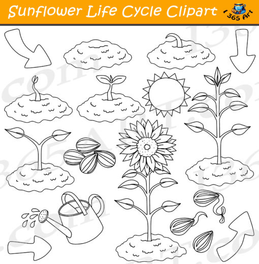 Sunflower life cycle clipart black and white