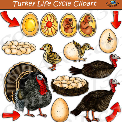Turkey life cycle clipart