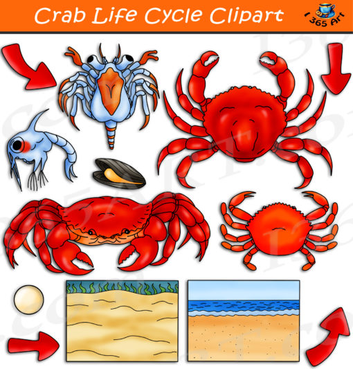 Crab life cycle clipart