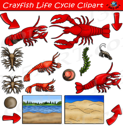 Crayfish life cycle clipart