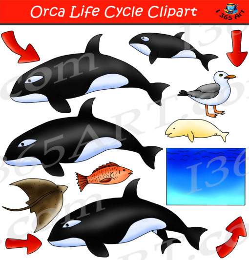 Orca life cycle clipart