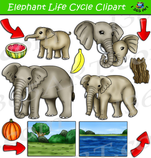 Elephant life cycle clipart