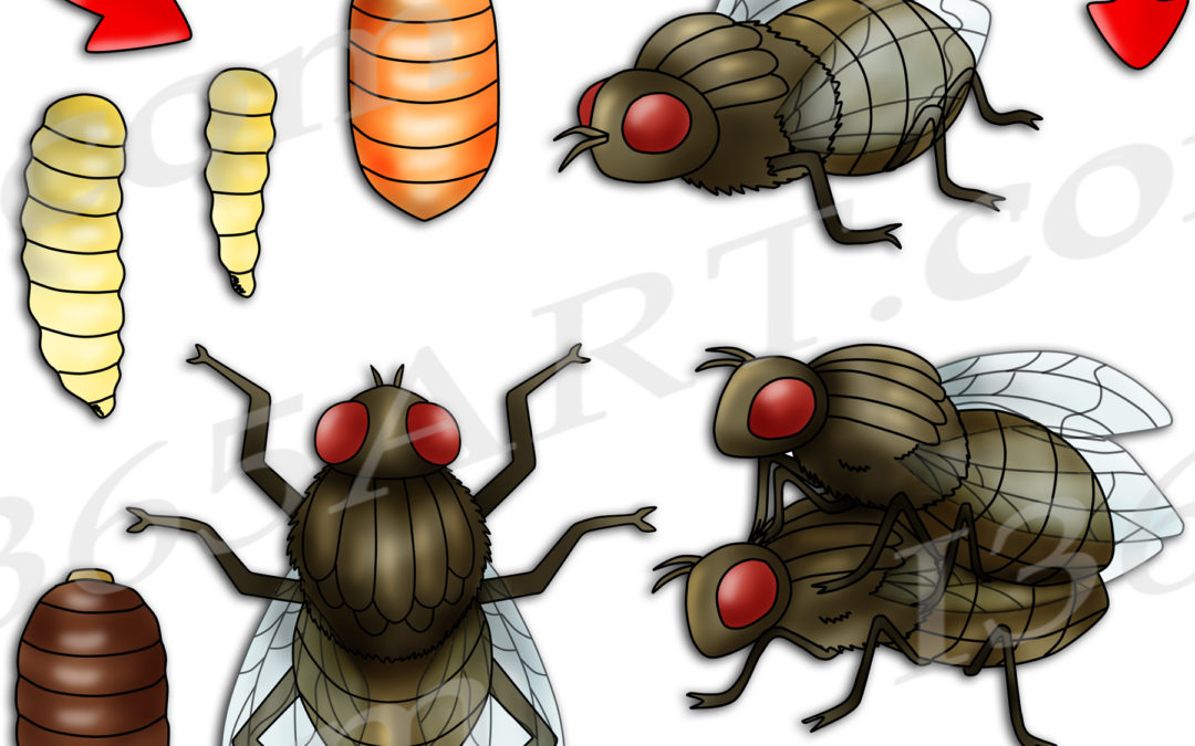 Housefly Life Cycle Clipart Set Download