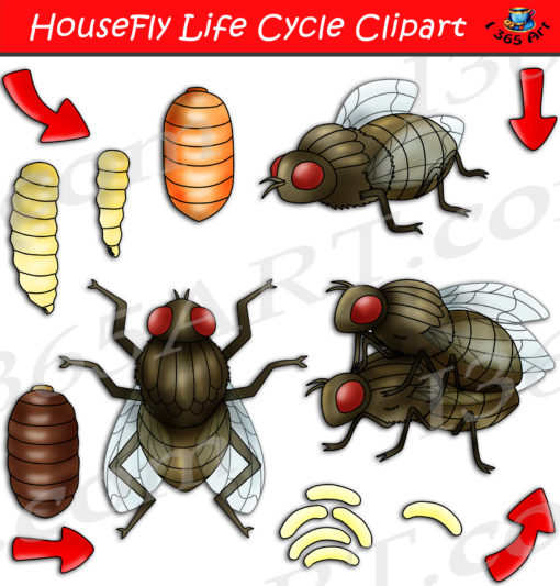 Housefly life cycle clipart