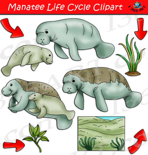 Manatee life cycle clipart