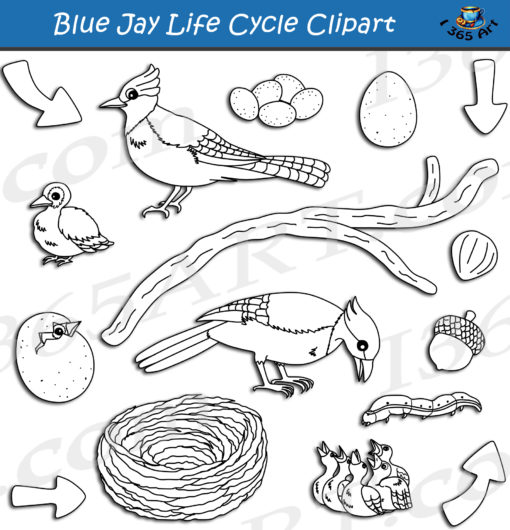 Blue Jay life cycle clipart