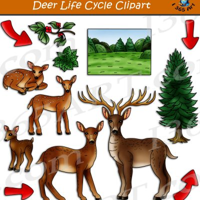 Deer Life Cycle Clipart