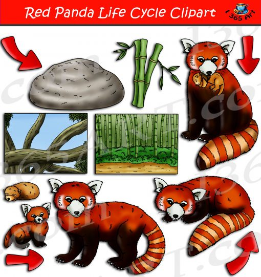 Red Panda Life Cycle Clipart