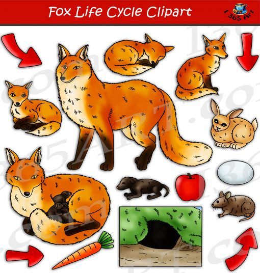 Fox Life Cycle Clipart