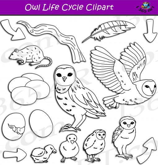 Owl Life Cycle Clipart
