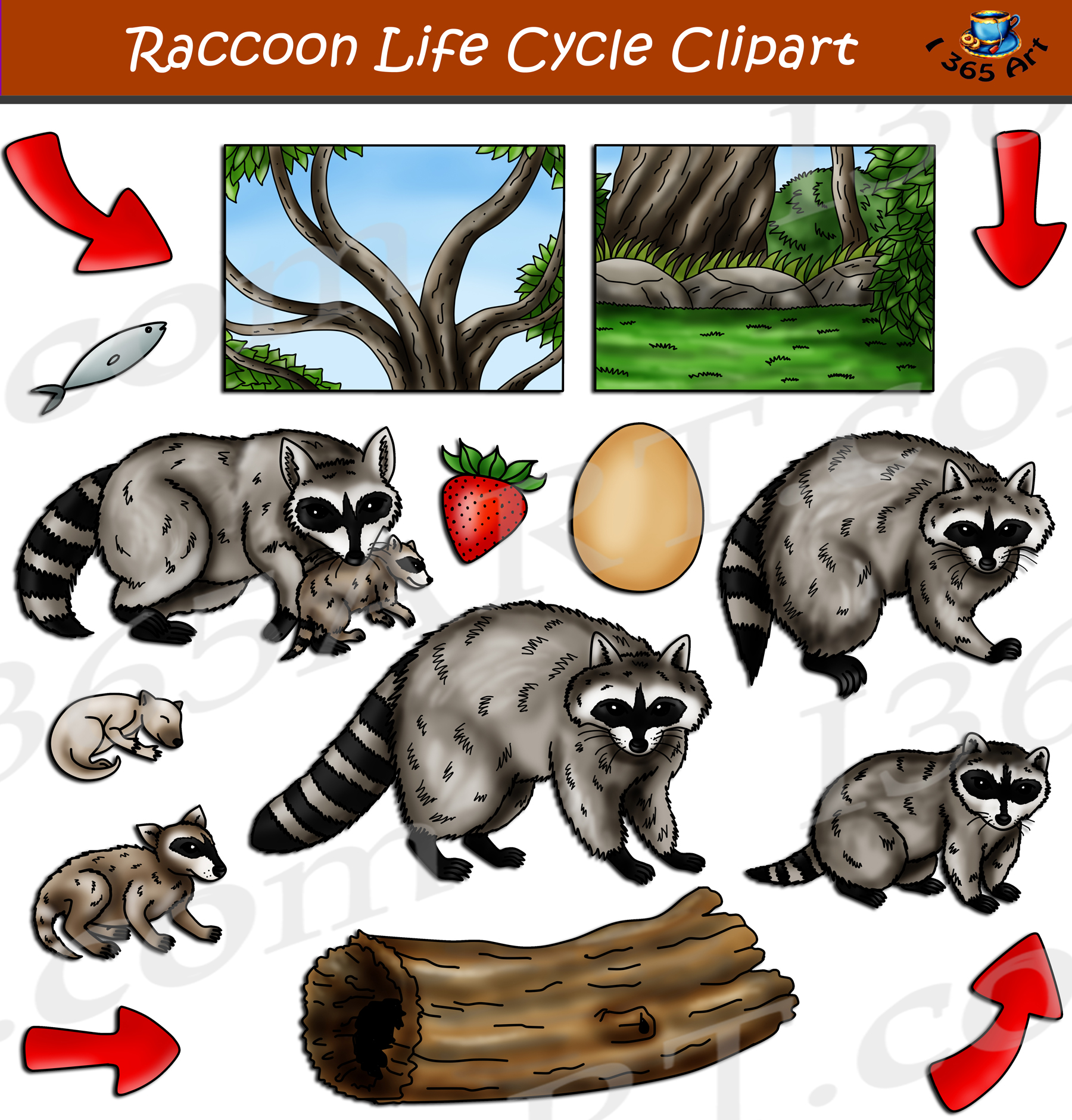 Raccoon Life Cycle Clipart Set Download - Clipart 4 School