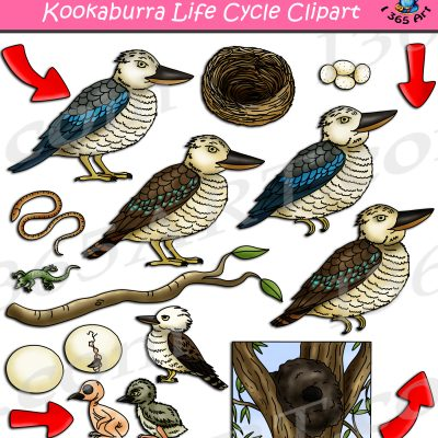 Kookaburra Life Cycle Clipart