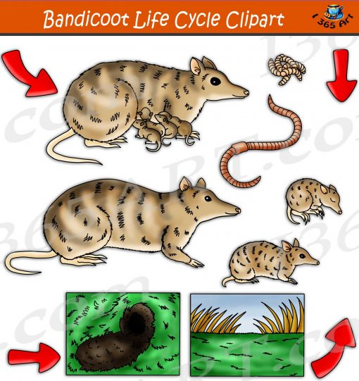 Bandicoot's Life Cycle Clipart