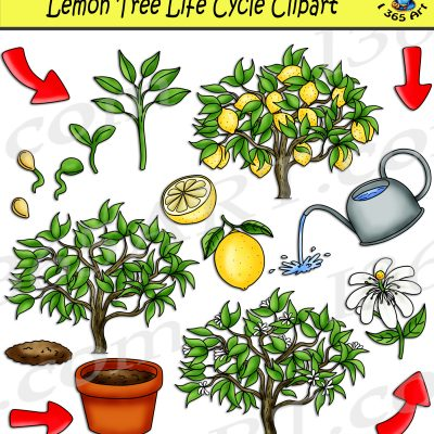 Lemon tree life cycle clipart